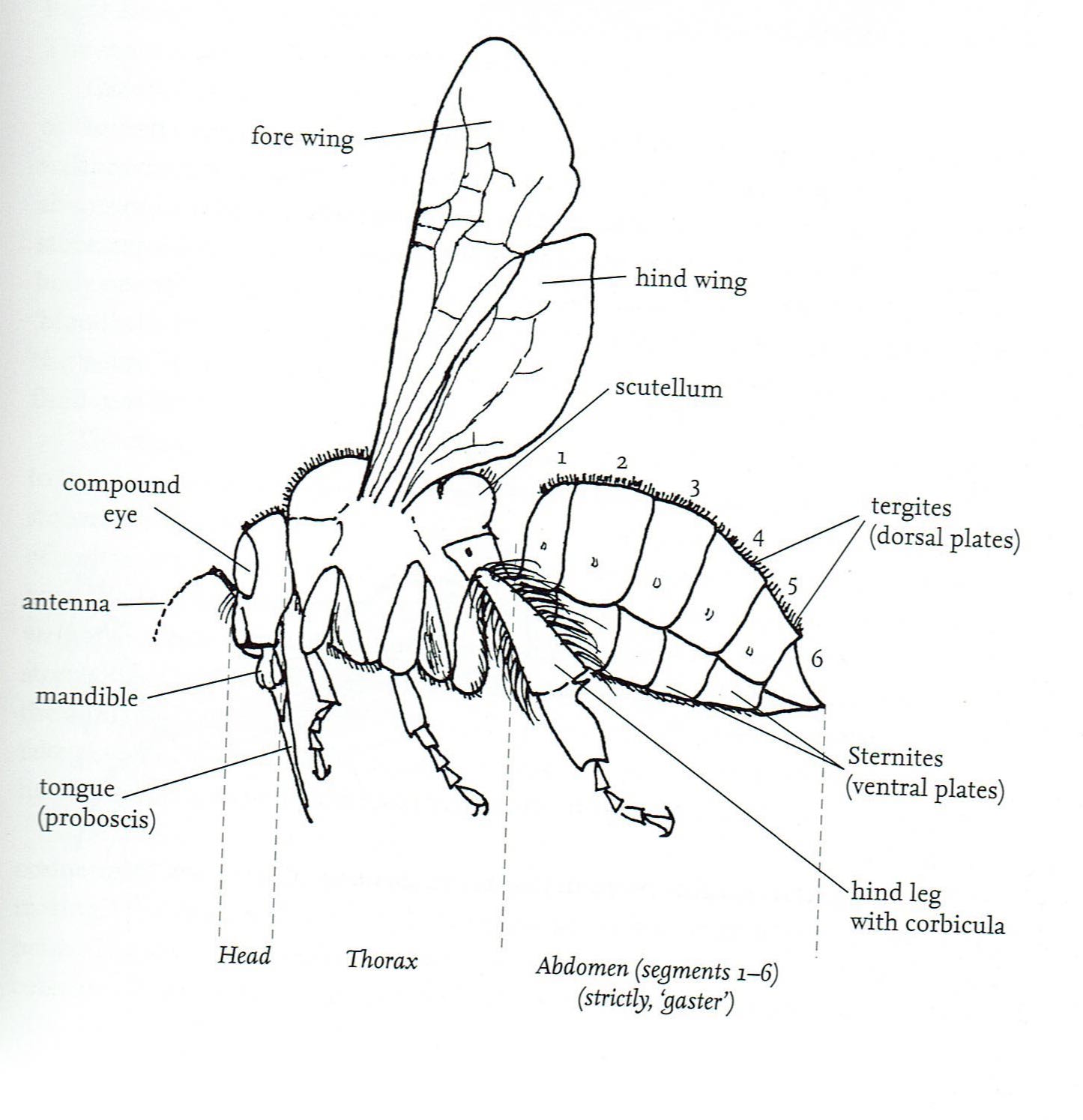 honey bee parts diagram for kids